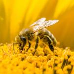Honingbijen en hommels